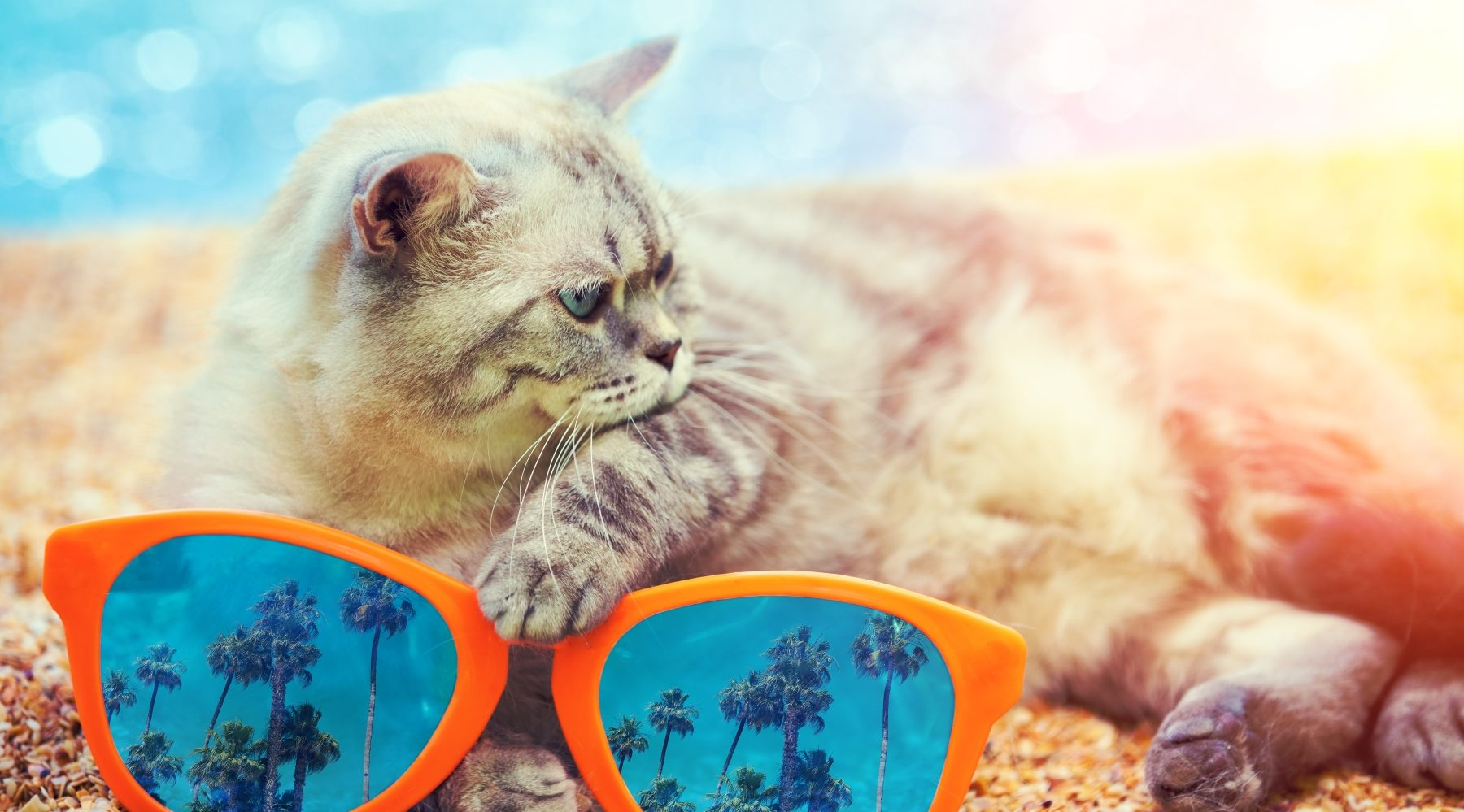 cat on beach with sunglasses
